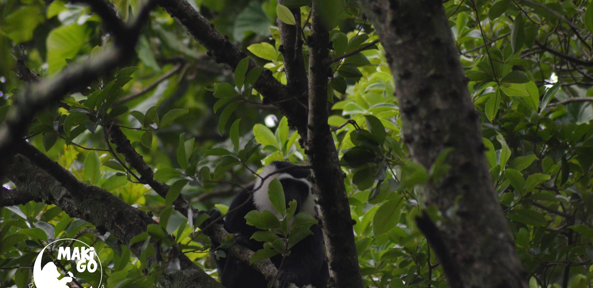 Colobe Magistrat (Colobus Vellerosus) dans la forêt de Kikele.