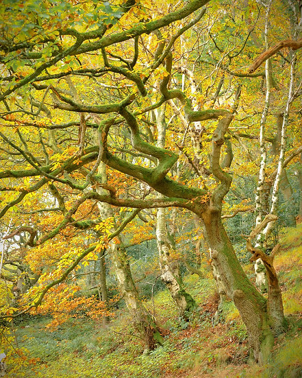 interesting tree full of autumn colour yellows and orange with green moss