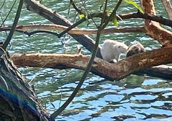 Dimanche 18-10-20 au bassin des musards, avec un ragondin albinos..!