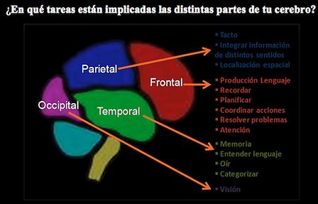 cerebro1.png