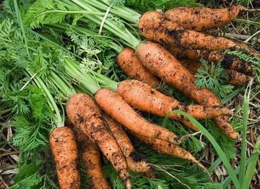 carottes par tray
