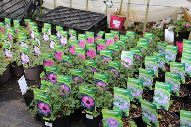 geranium vivace mixte