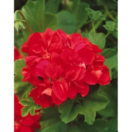 geranium lierre royal red