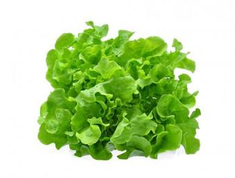 laitue  feuilles de chêne vertes 6 pièces