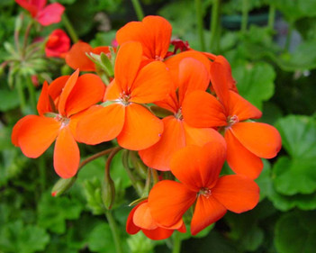geranium lierre royal candy orange