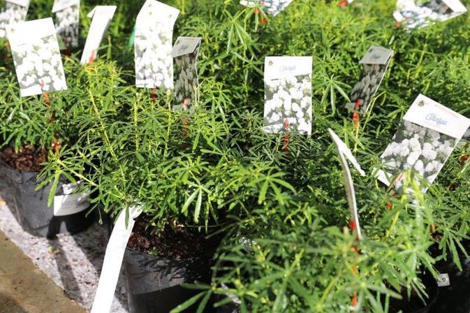 choisya en variétés