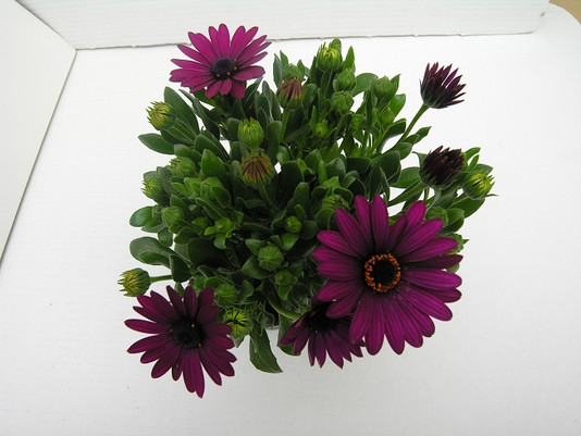osteospermum mary