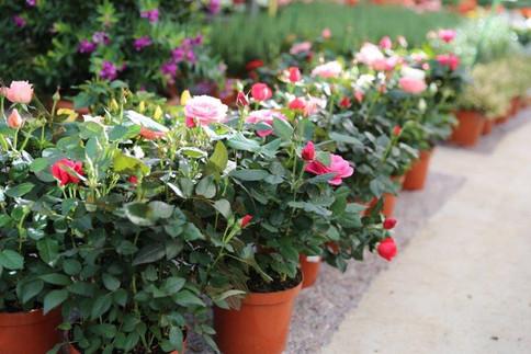 rosier patio mix