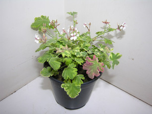 pelargonium odorant mix