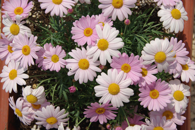 anthemis rose p10.5