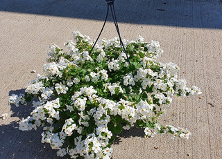 suspension bacopa blanc