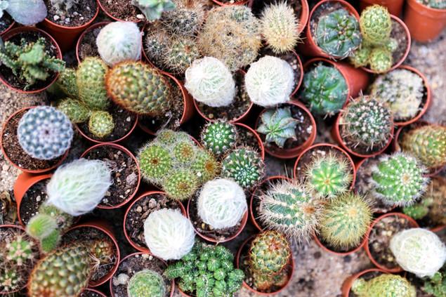 Cactus mini mix