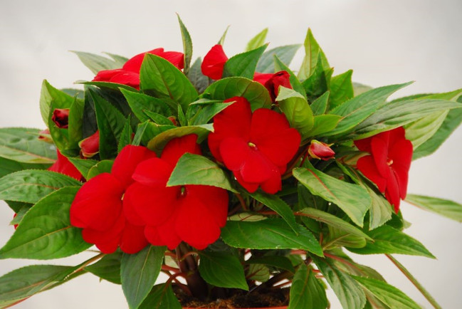 impatiens ng royal red