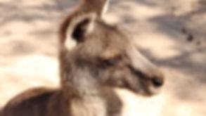 tête de kangourou