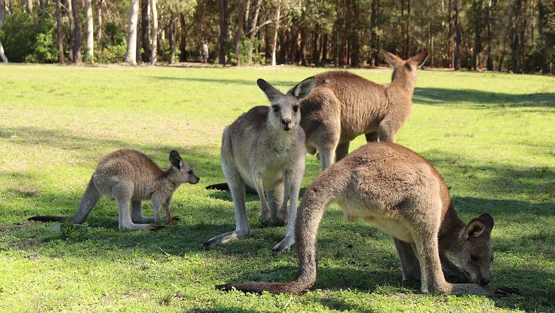 Family of Kangaroos