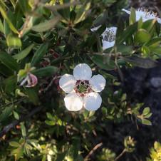 Tea Tree Wiri Susan