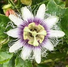 Passionfruit flower.jpg