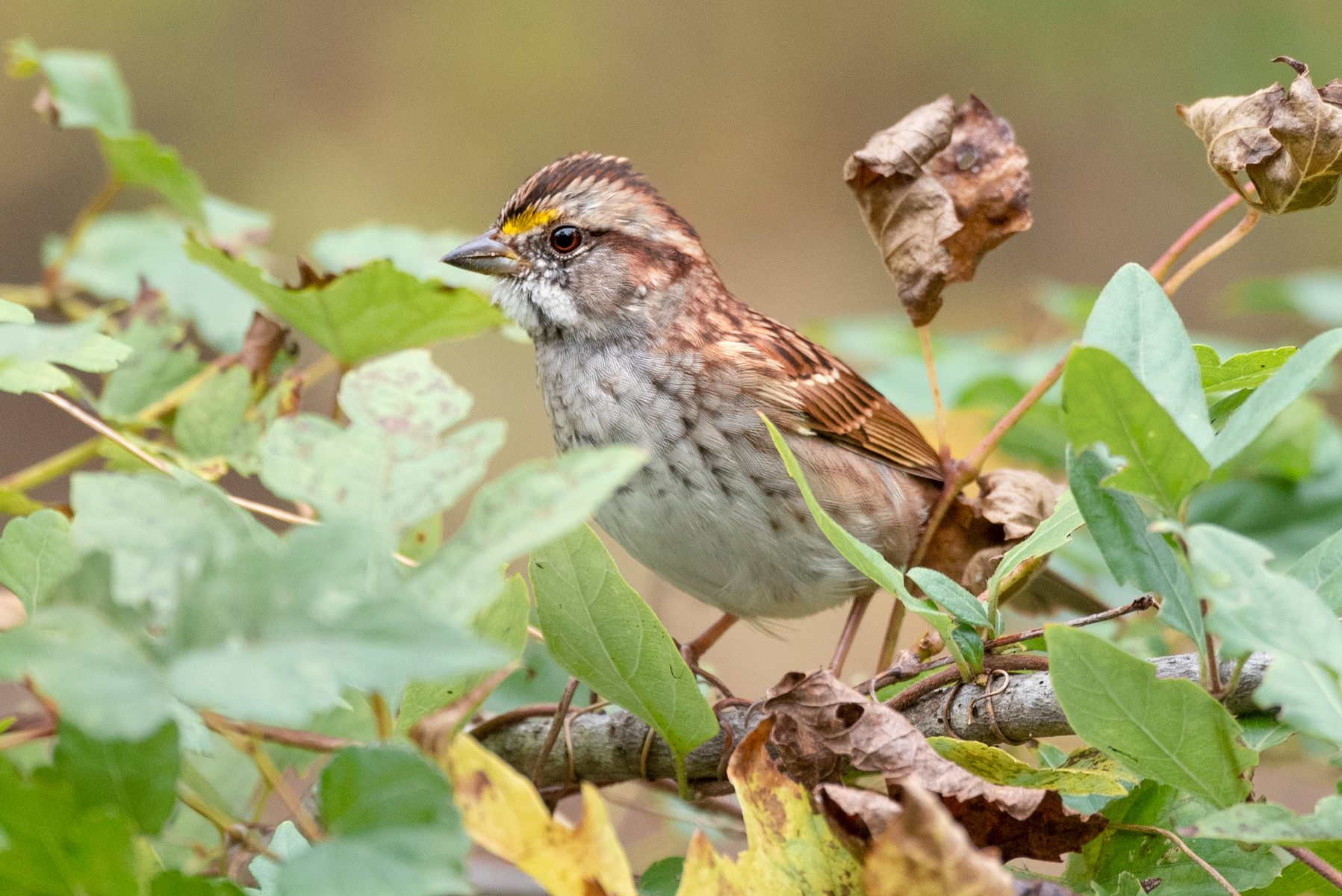whitethroat sparrow