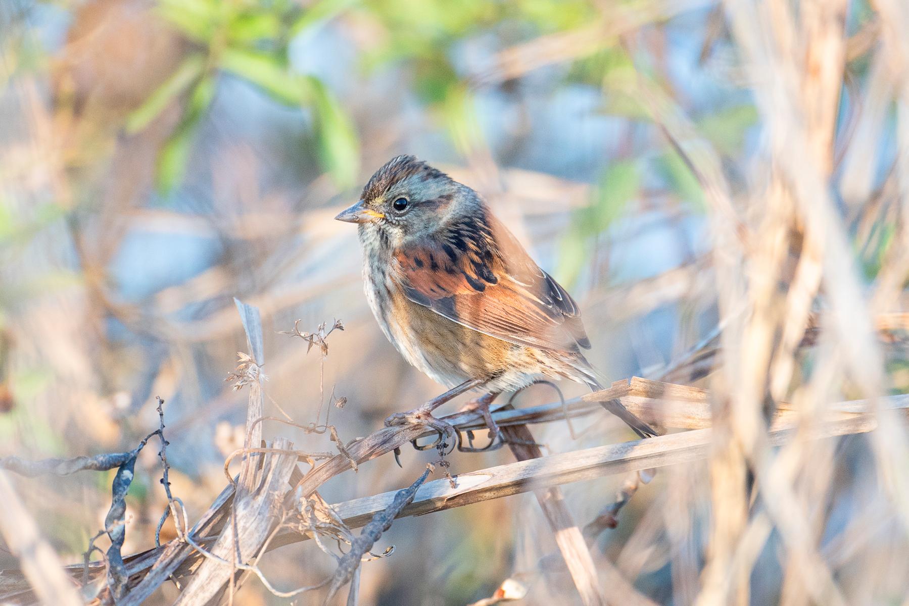 swamp sparrow small