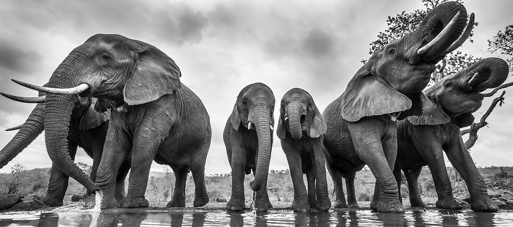A herd of elephant come to drink
