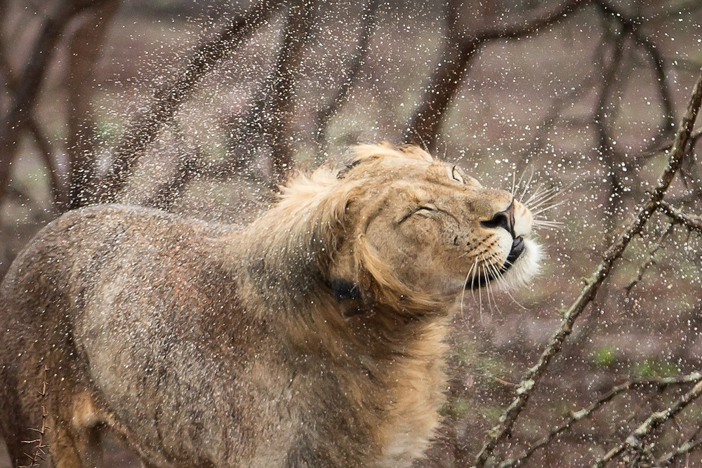 A lion shaking rain from its mane