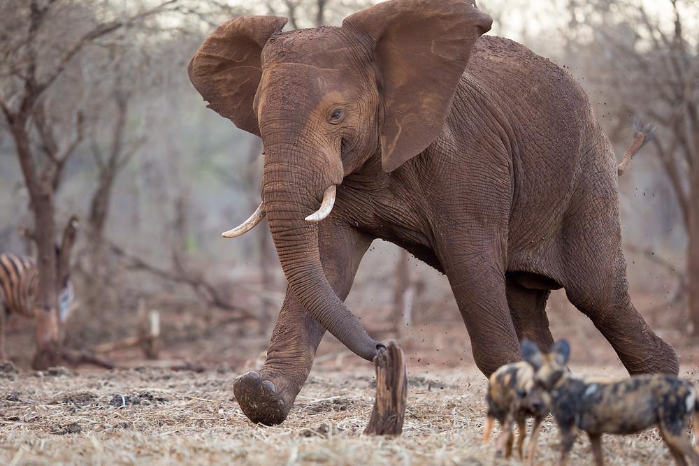 Wild Dogs chasing elephant