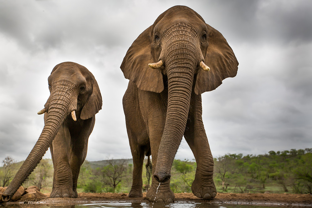 Two elephants come to drink