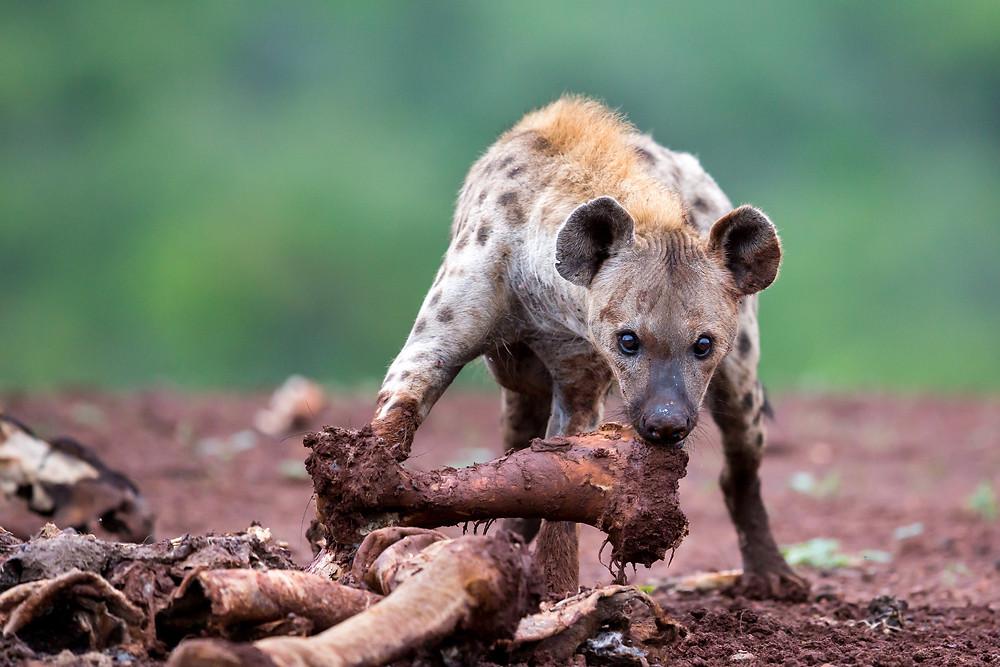 Hyena feasting on bones