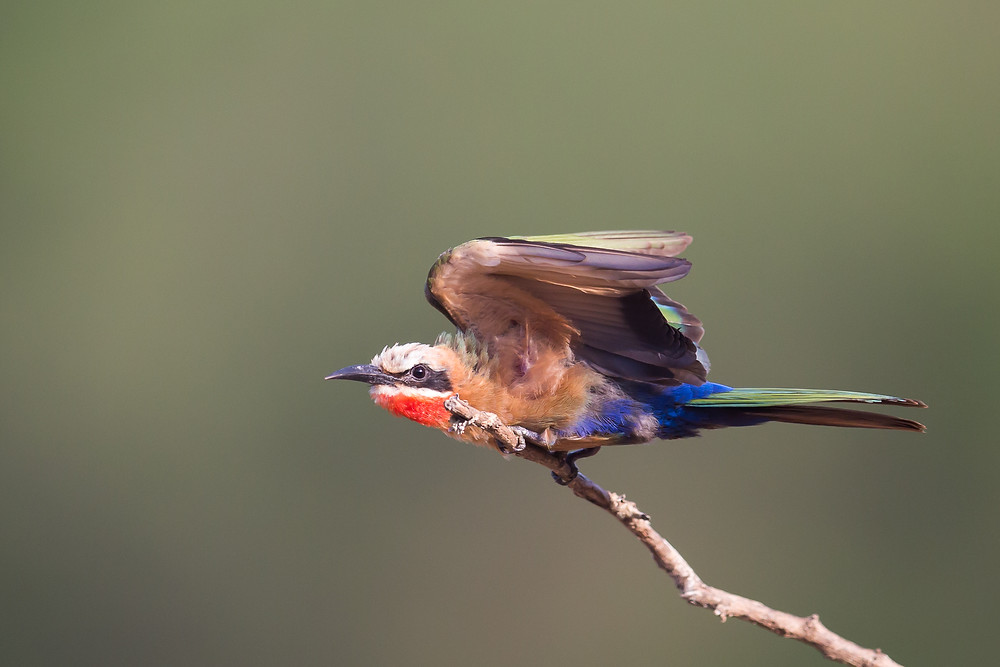 White Fronted Bee-eater just before take-off