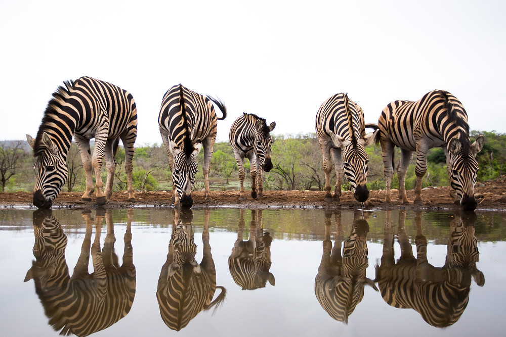Zebra with lovely reflections