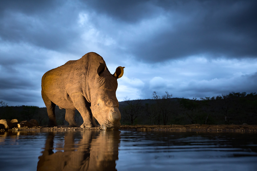 Rhino drinking at blue hour with stormy skies