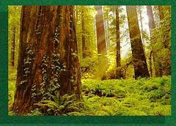 MESSAGES FROM THE REDWOOD TREES