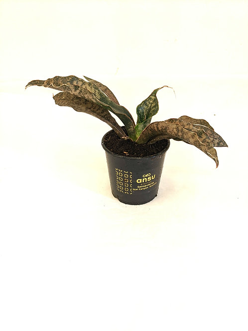 Sansevieria Star Canyon Granite