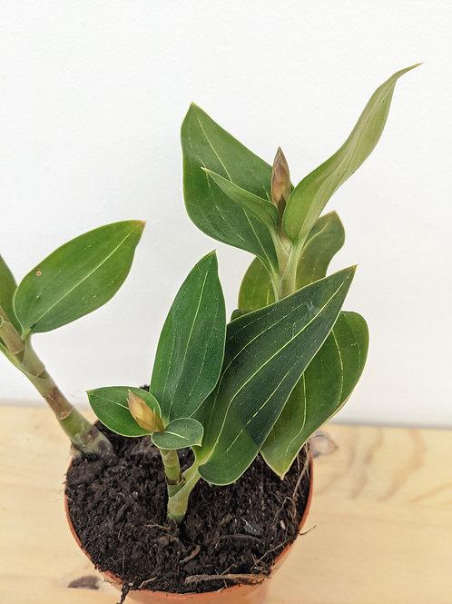 Ludisia - Winter orchid