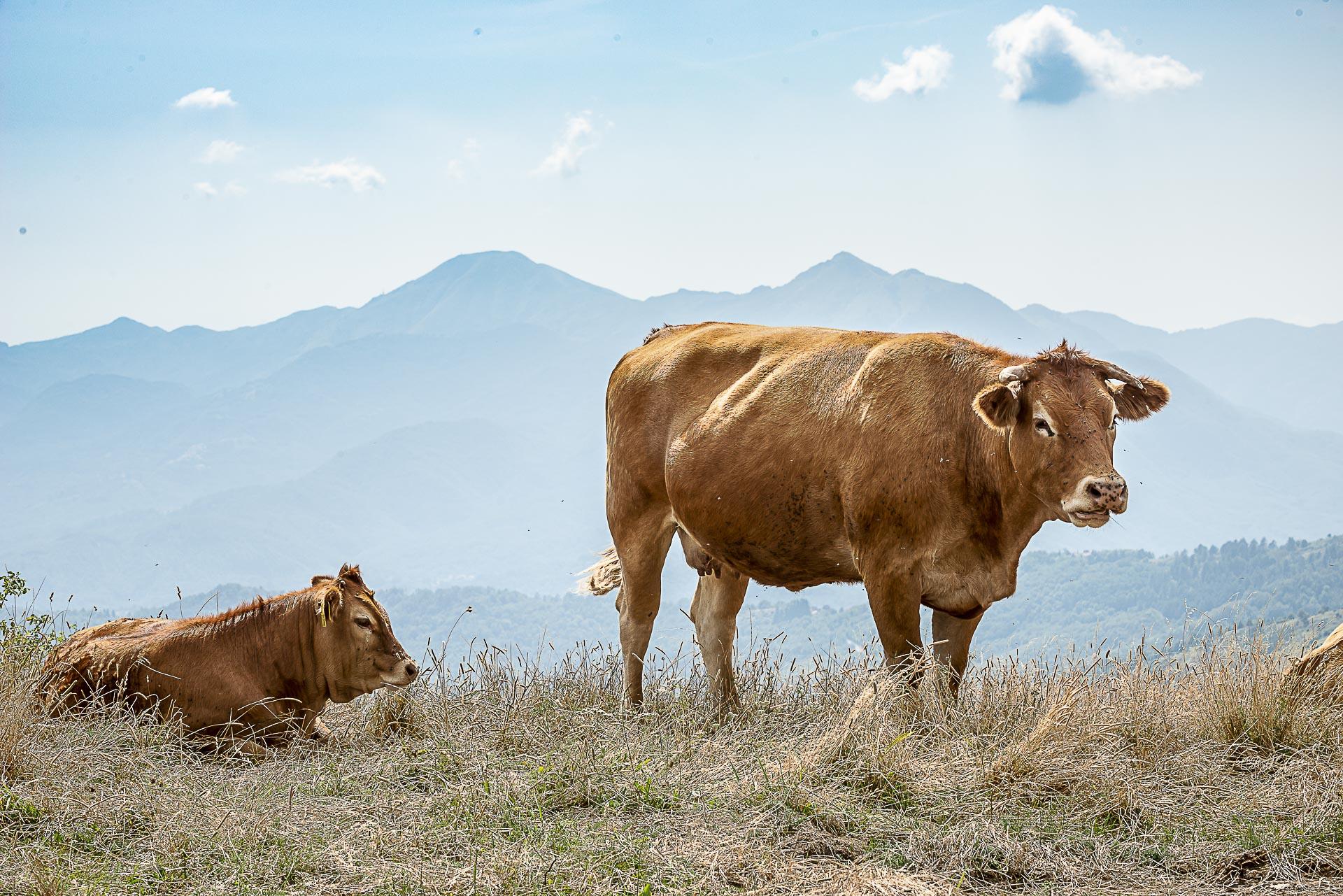 Industria Allevamento  Bovino Agricoltura Fotografo