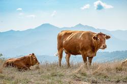 Storytelling Industria Allevamento Bovino Agricoltura Fotografo