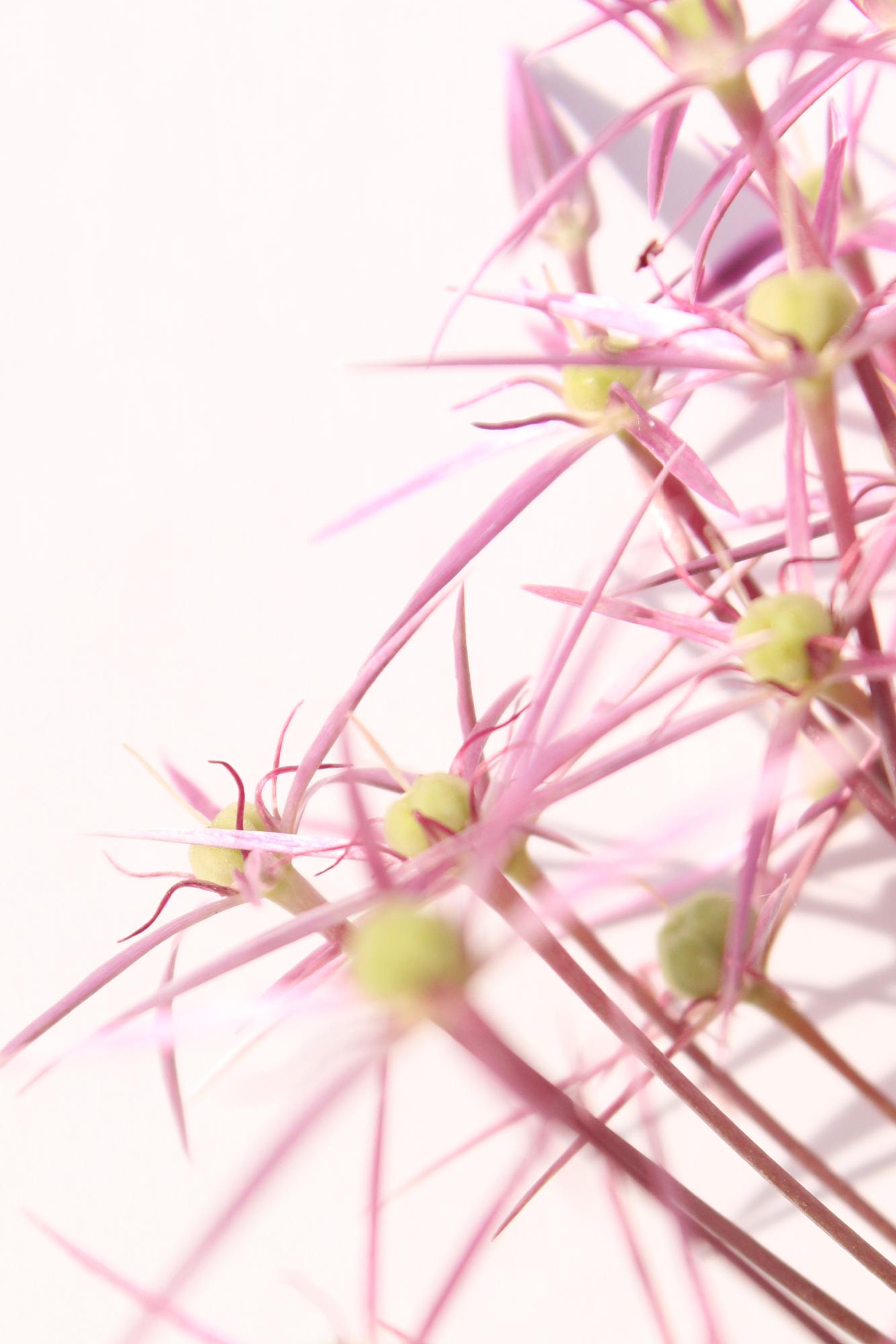 Zierzwiebelblüte