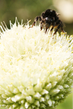 Zwiebelblüte mit Hummel