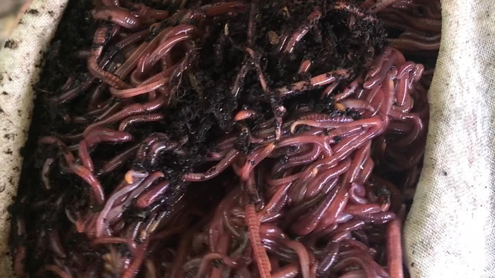 Red Wigglers (Eisenia fetida)