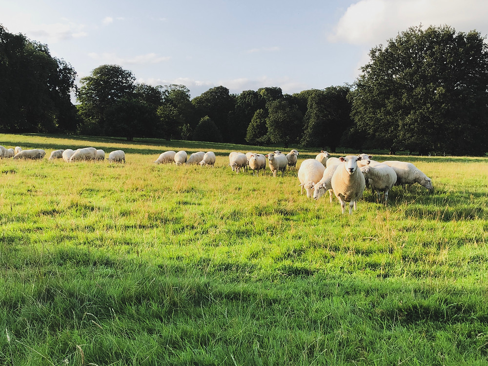 Native breed grass fed lambs.