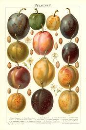 Sm_Fruits_Plums. Antique Nature Prints