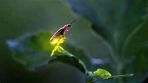 Fireflies and other insects in danger of extinction