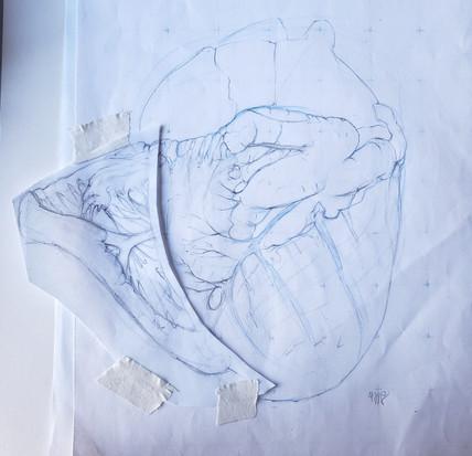 Bovine Heart Study Rough Draft