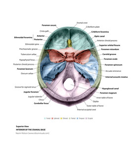 Superior View of Cranial Base