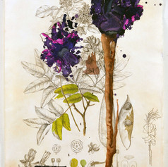 Flora Brasiliensis #206_2020_19x12_#6371