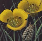 Calochortus and Ten-lined June Beetle