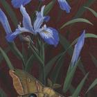 Polyphemus Moth and Douglas Iris