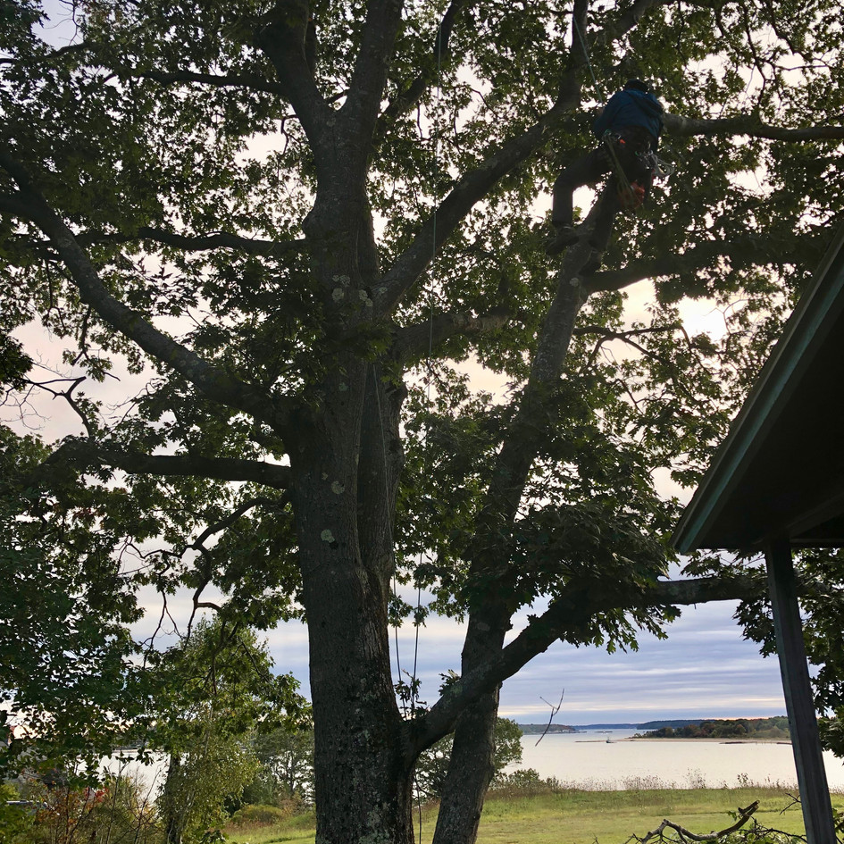 Red Oak Prune