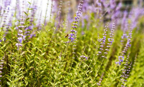 Lavender - Lavanda