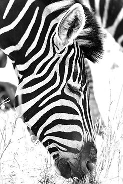 Black and White Zebra Photograph Africa